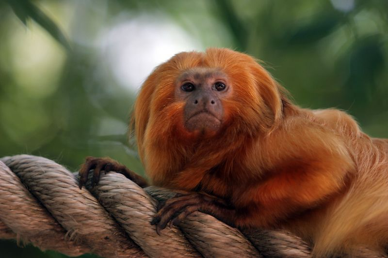 USA, Georgia, GA, Zoo Atlanta, Golden Lion Tamarin, Leontopithecus Rosalia