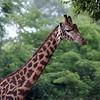 USA, Georgia, GA, Zoo Atlanta, Girrafe, Giraffa Camelopardalis