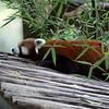 Zoo Atlanta, Red Panda, Ailurus fulgens fulgens