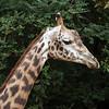 Zoo Atlanta, Girrafe, Giraffa Camelopardalis