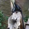 Zoo Atlanta, Mona Monkey, Cercopithecus mona