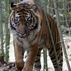 USA, Georgia, GA, Zoo Atlanta, Cat, Sumatran tiger (Panthera tigris sumatrae)