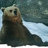 Brown Bear - Ruskeakarhu - Ursus arctos<br /> <br /> Meditation - Meditointi
