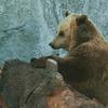 Brown Bear - Ruskeakarhu - Ursus arctos<br /> <br /> Service, please! - Palvelua, kiitos!
