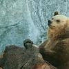 Brown Bear - Ruskeakarhu - Ursus arctos<br /> <br /> Boring! - Tylsää!