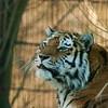 Amur Tiger - Amurintiikeri - Panthera tigris altaica<br /> <br /> Any one? - Kuuliko kukaan?