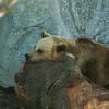 Brown Bear - Ruskeakarhu - Ursus arctos<br /> <br /> So boring... - Tylsää...