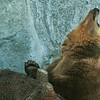 Brown Bear - Ruskeakarhu - Ursus arctos<br /> <br /> Snif! I hate waiting! - UH! Vihaan odottelua!