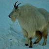Mountain goat - Lumivuohi - Oreamnos americanus