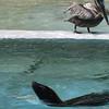 Sea Lion and Pelican, National Zoo, Washington, DC