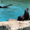Sea Lions, National Zoo, Washington, DC