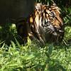 Tigress, National Zoo, Washington, DC