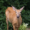 Wild deer, National Zoo, Washington, DC