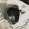 Sloth Bear, National Zoo, Washington, DC