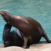 Sea Lion, National Zoo, Washington, DC