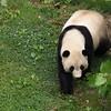 Giant Panda Tai Shan, National Zoo, Washington, DC