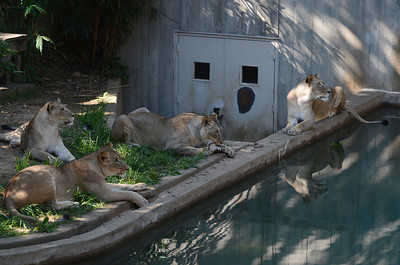 Lions at the National Zoo in Washington, DC, July 29, 2012.