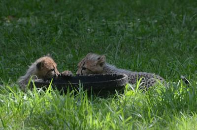 Cheetah cubs at play, National Zoo, Washington DC, July 29, 2012.