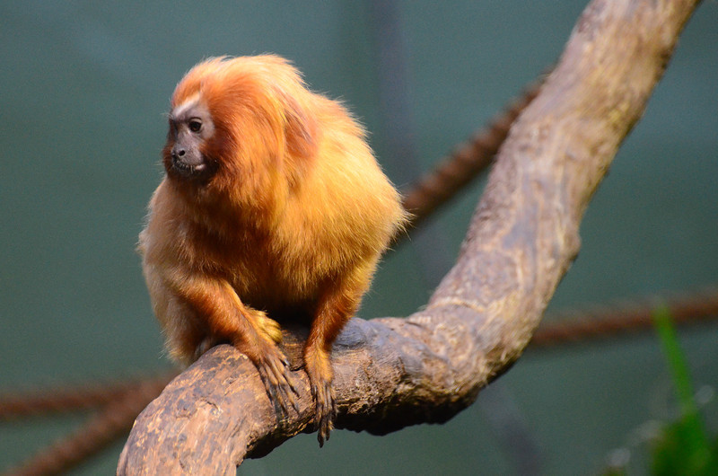 Golden Lion Tamarin, Small Mammal House, National Zoo, Washington DC, August 18, 2012.