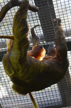 A golden lion tamarin uses a two-toed sloth as a hammock. Who says animals don't make tools?