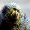 The person who named this species may have been blind, but this is a Pale-Faced Saki.