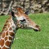 Baby Giraffe (Giraffa camelopardalis)