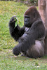 JJ the Lowland gorilla<br /> (died October 3, 2014 of heart disease)