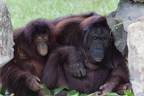 Orangutang mother and daughter