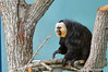 White-faced Saki Monkey<br /> (Phitecia phitecia)