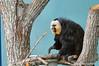White-faced Saki Monkey<br /> (Phitecia phitecia)