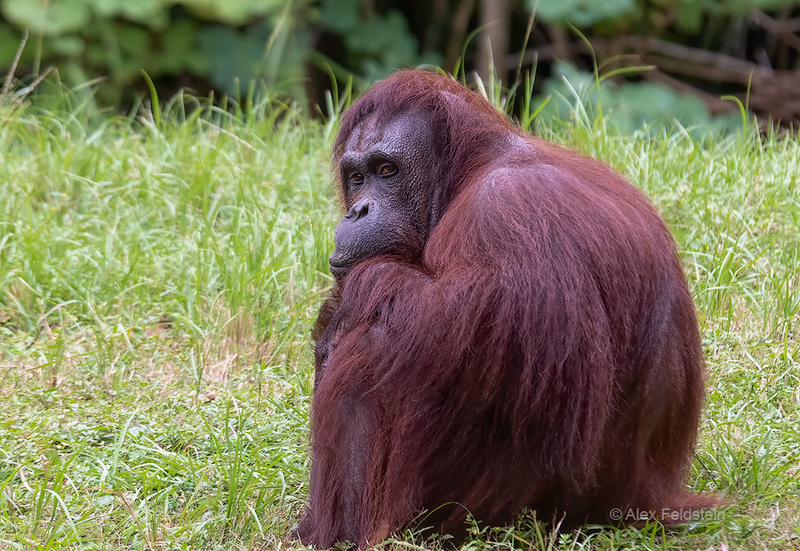 Female orangutang