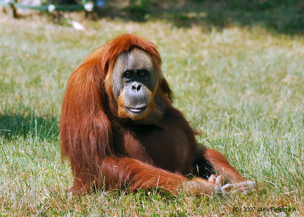 """""""Nonja"""" the world's oldest orangutan at 55 years old. Passed away on December 29th, 2007"""