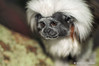 Cotton-Top Marmoset<br /> (Saguinus Oedipus)