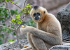 Gibbon (female)