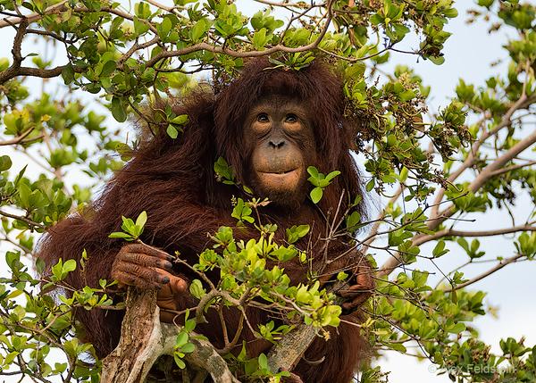 Young female orangutang