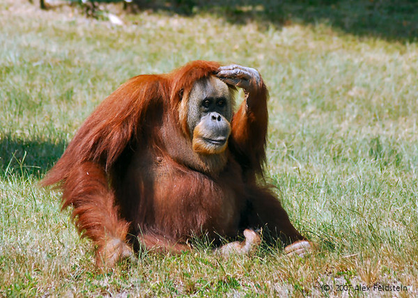 """Nonja"" the world's oldest orangutan at 55 years old. Passed away on December 29th, 2007"