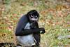 Spider Monkey<br /> Atleles Geoffroyi