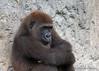 Lowland Gorilla (Gorilla gorilla)