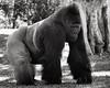 JJ the Lowland gorilla<br /> (died October 3, 2014 of heart disease)