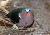 Green-winged Dove (Chalcophaps indica robinsoni)