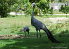 Stanley Crane (Anthropoides paradisea)