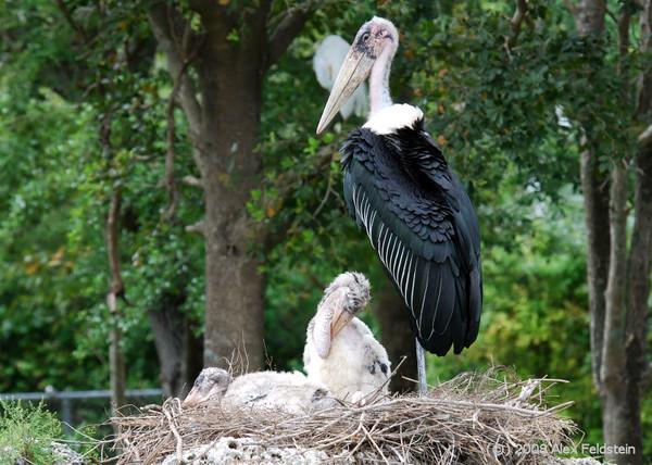 Marabou Stork (Leptoptilos crumeniferus)