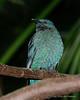 Fairy-bluebird (Irena puella)