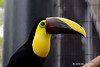 Chestnut Mandibled Toucan<br /> Rahmphastos Swainsonii