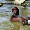 Ferruginous white-eyed duck