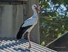 White-Stork-(Ciconia-ciconia)