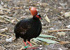Crested wood-partridge (Rollulus rouloul)