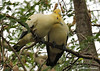 Pied Imperial Pigeons (Ducula bicolor)