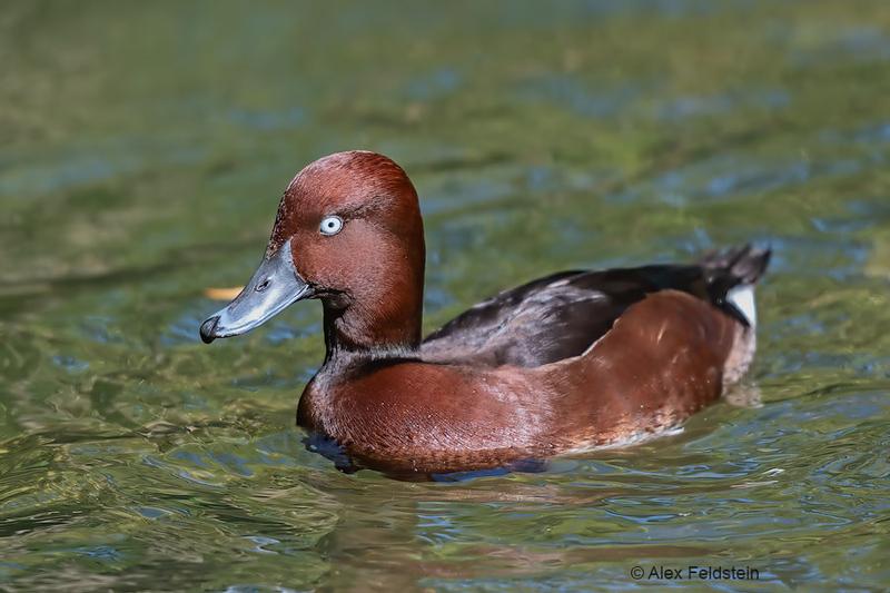 Ferruginous white-eyed duck (Aythya nyroca)