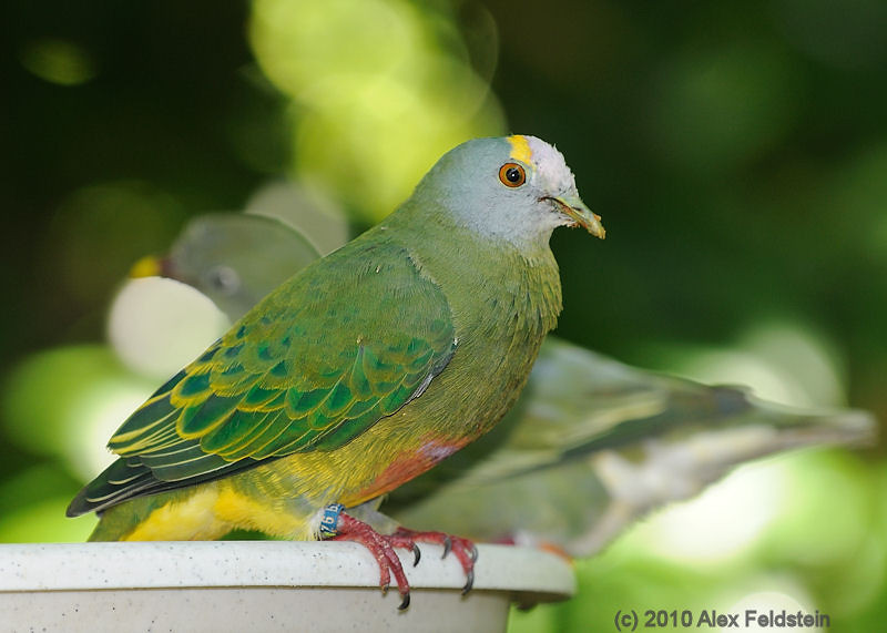 Orange-bellied fruit dove